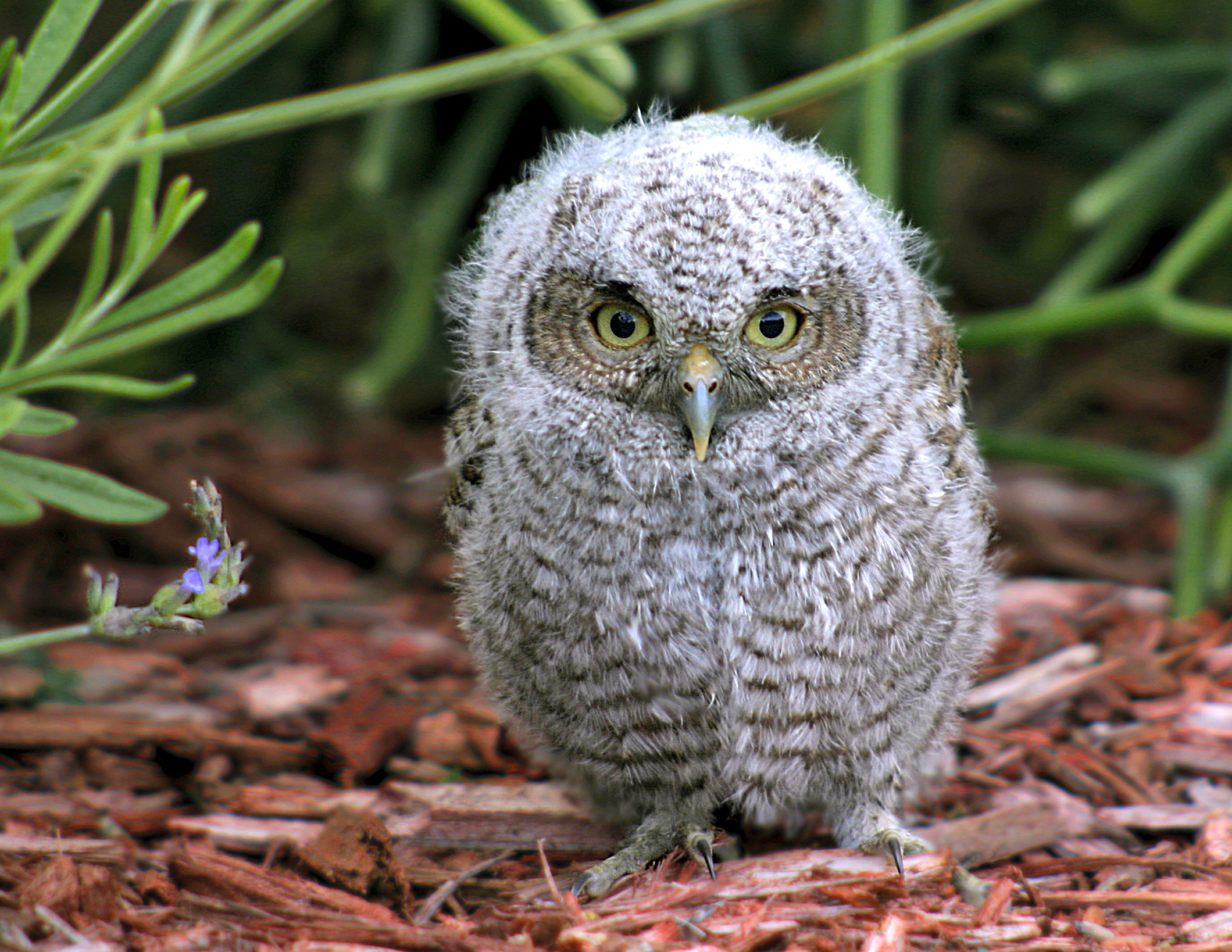 Cute Baby Screech Owl in Birds and Blooms Online | naturetime