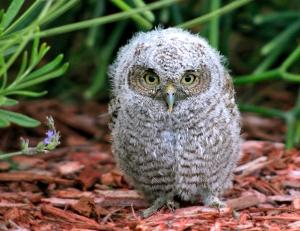 Baby Screech Owl in Florida
