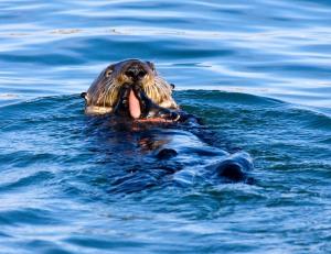 Sea Otter Eating an Innkeeper Worm