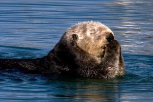 """Sea Otter """"Saying Prayers"""""""