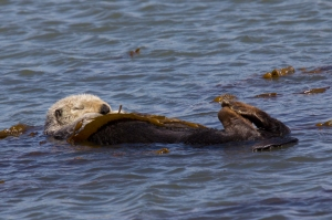Sea Otter Sleeping Wrapped in Kelp