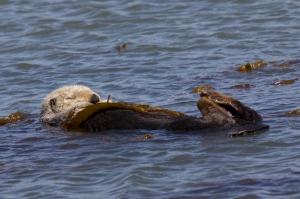Sea Otter Sleeping Wrapped in Kelp