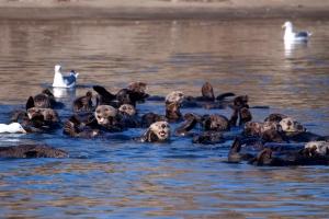 Sea Otter Smiles