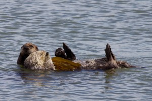Mother (light brown) and Baby (dark brown) Sea Otters