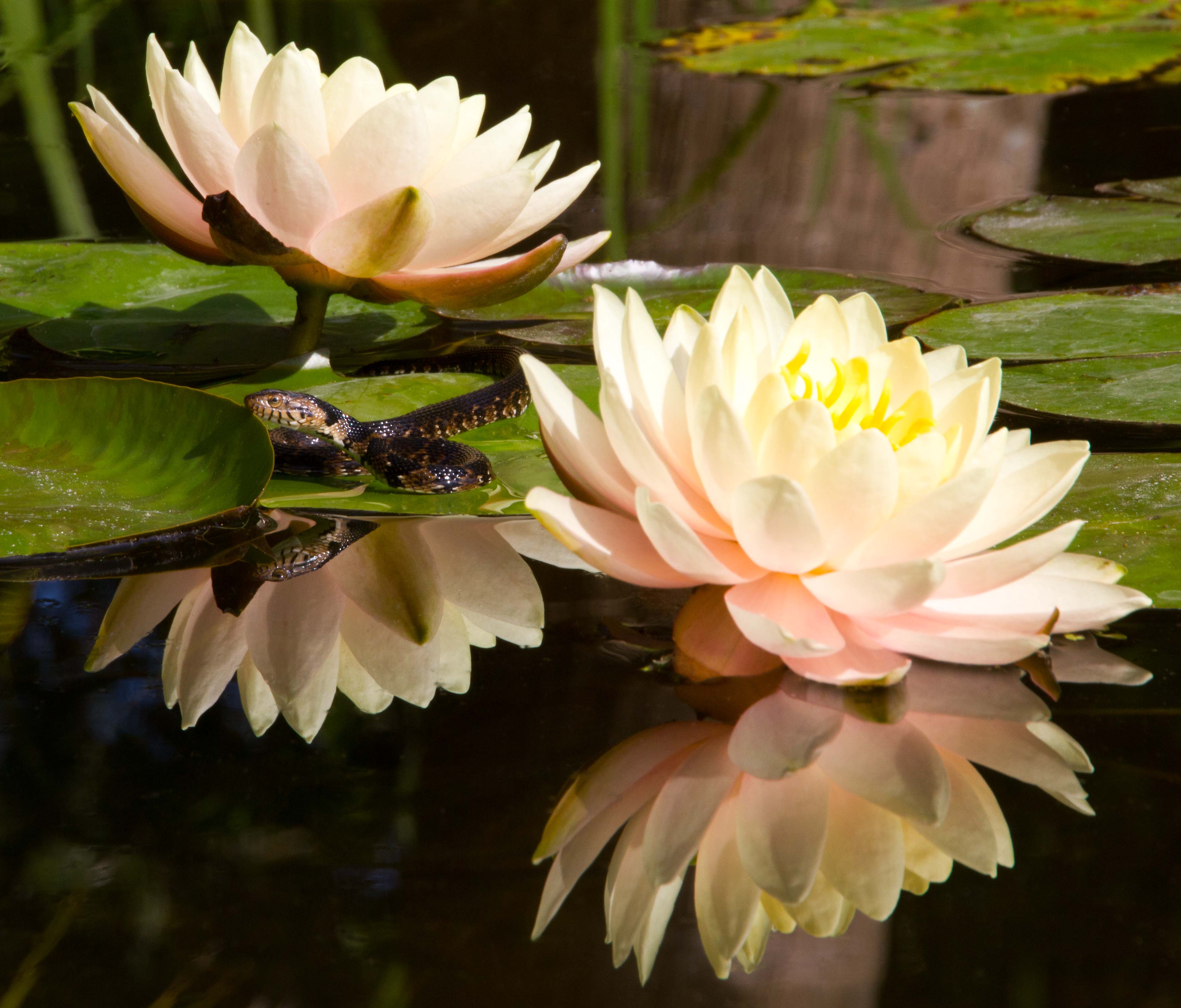 Florida Banded Water Snake And Waterlilies Naturetime