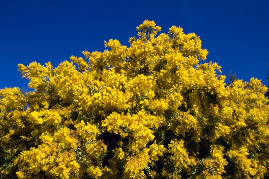 Acacia Tree In Full Bloom Naturetime