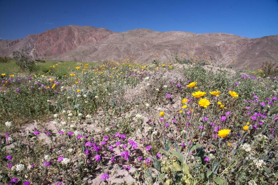 anza borrego spring flowers naturetime