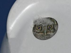 Screech Owl Baby in Nesting Gourd