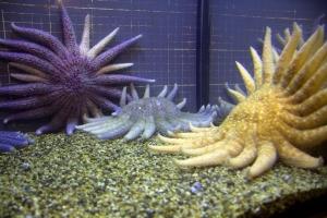 Sunflower Stars in Aquarium Inside
