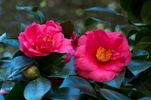 Filoli Red Camellias