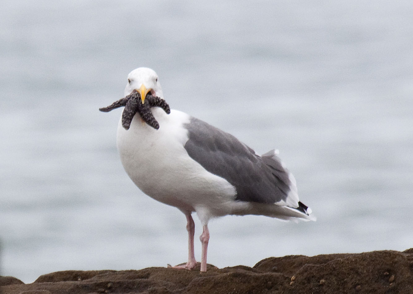 Seagull With A Mouthful Of Starfish Naturetime