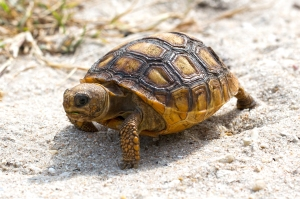 Baby Gopher Tortoise Walking