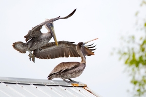 Banded Brown Pelicans on Fishing Pavilion Roof