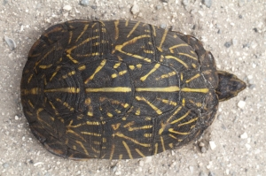 Florida Box Turtle Shell