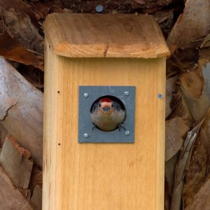 Red-Bellied Woodpecker in Nest Box