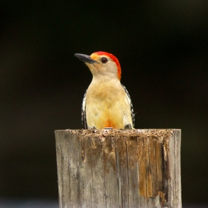 Woodpecker Showing Red Belly