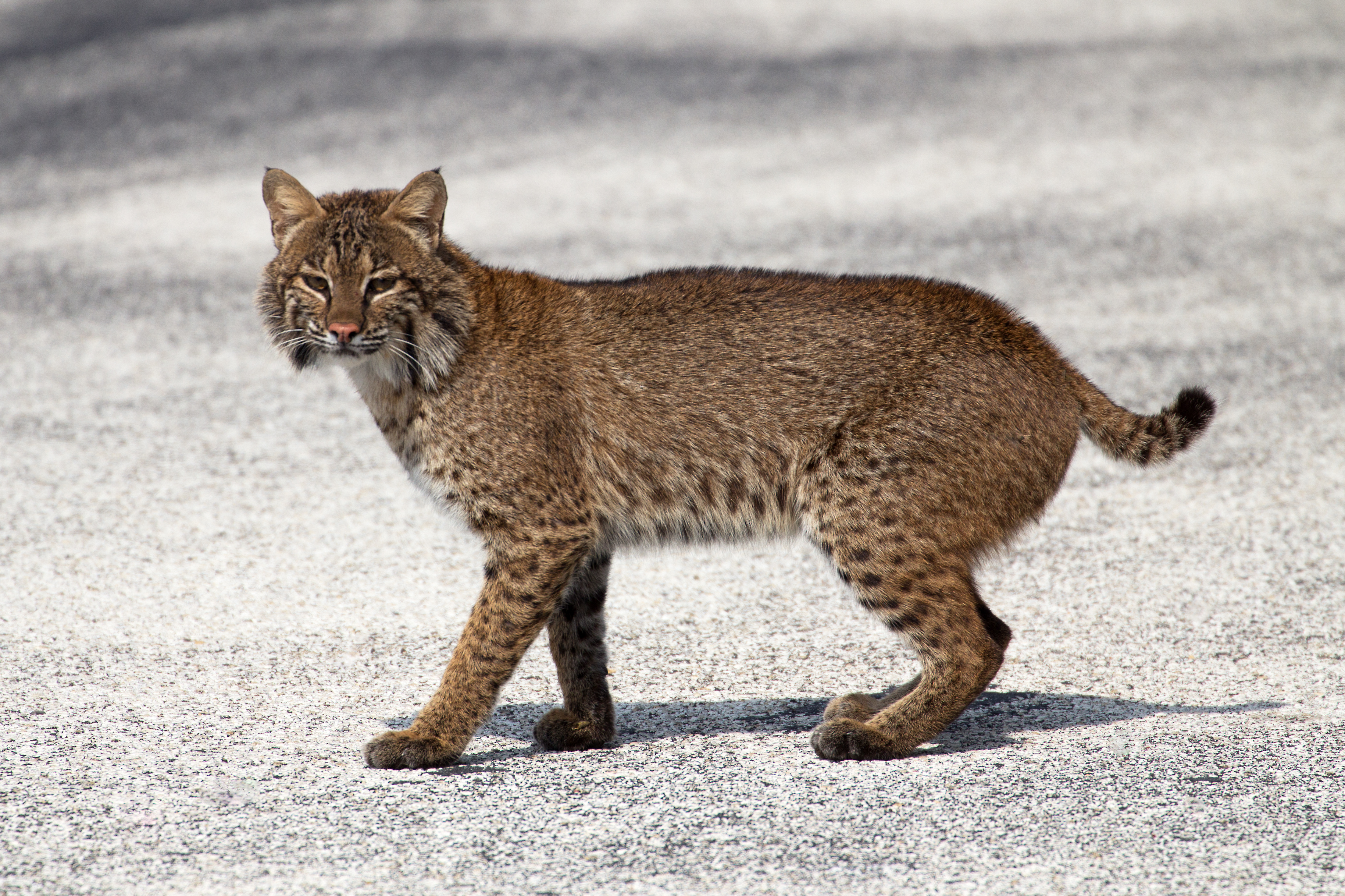The Legacy Of Central Florida S Black Press: Beautiful Bobcat At Sebastian Inlet, Florida