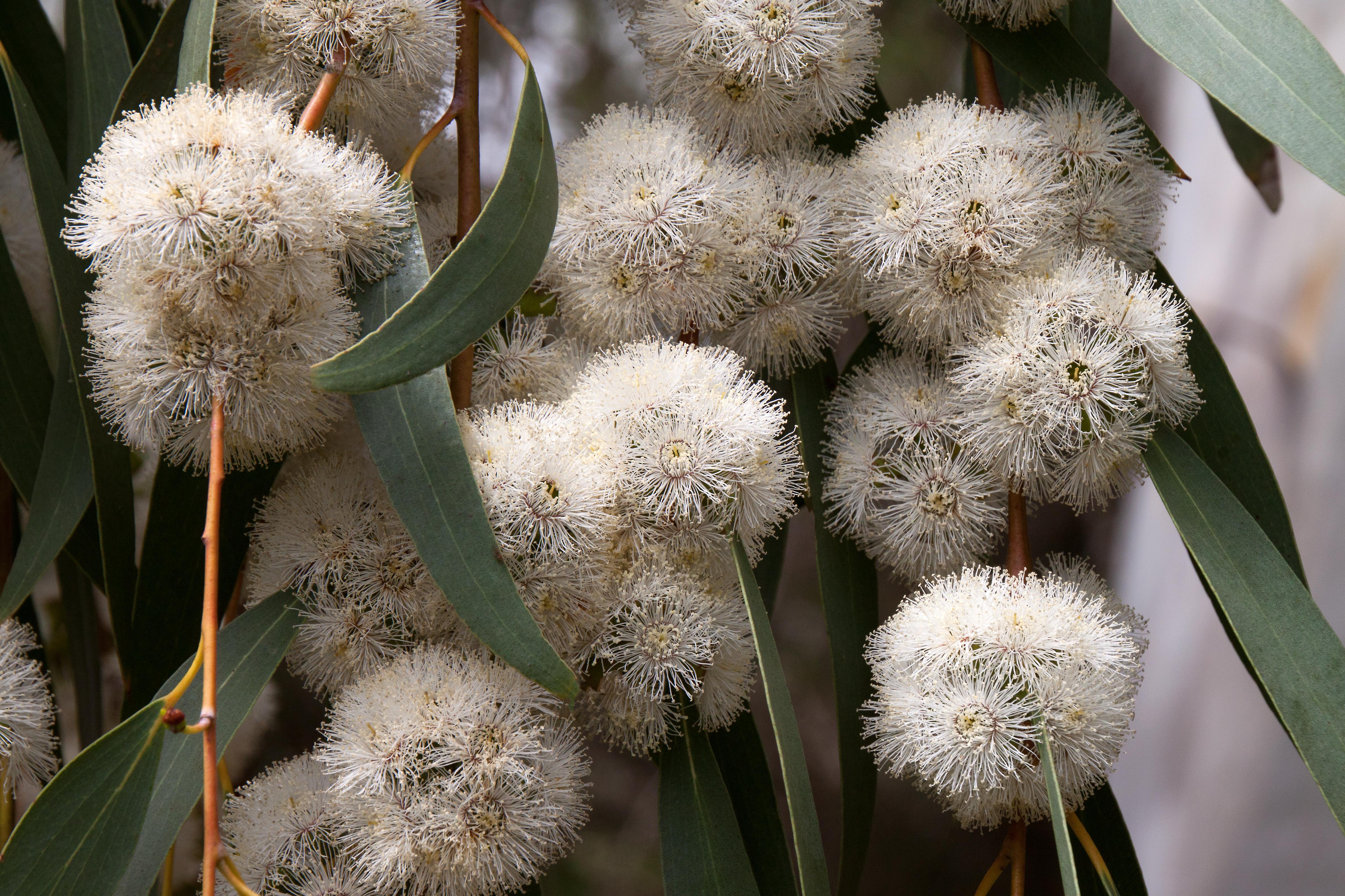 Эвкалипт картинки цветок