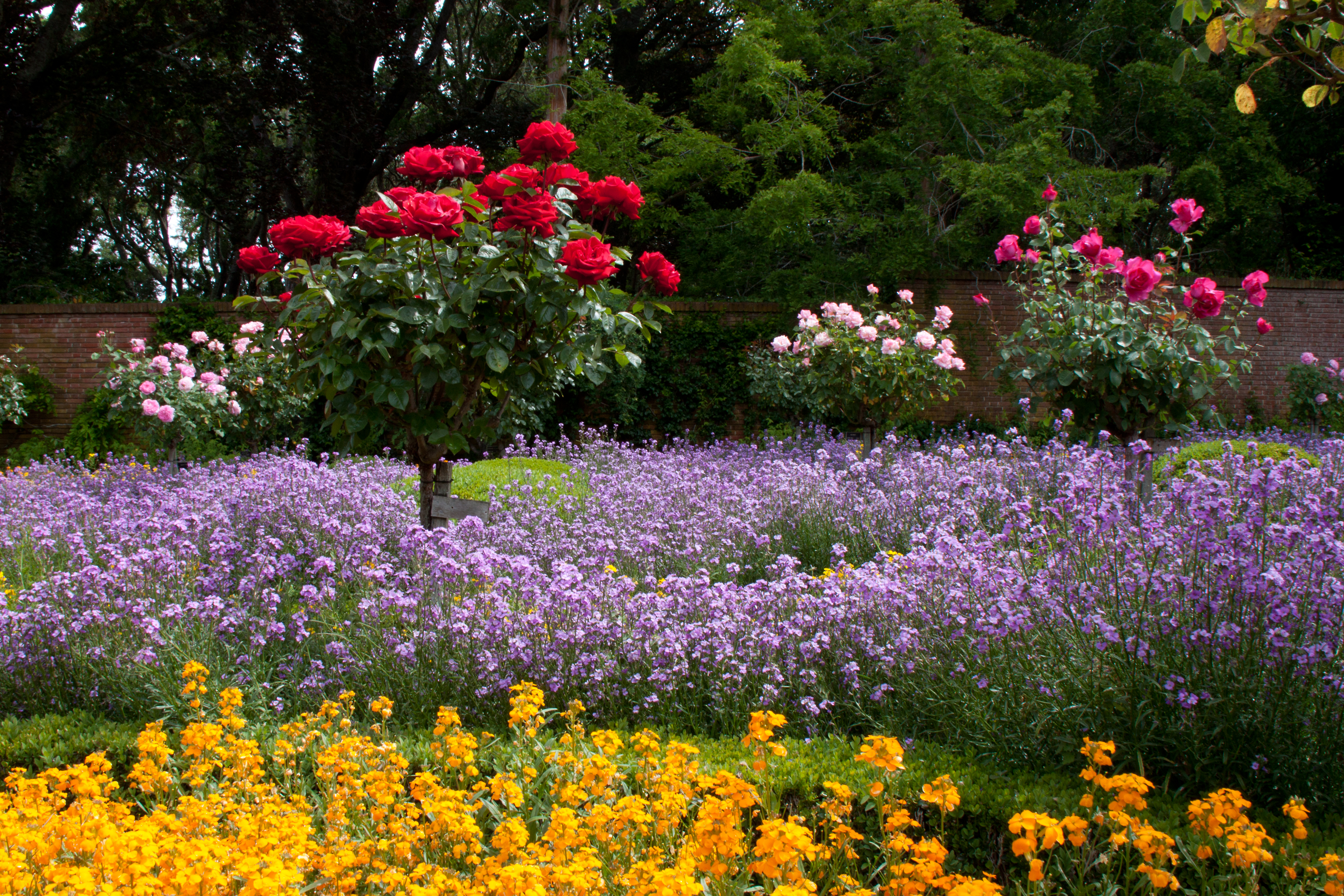 Roses In Garden: Rose Meadow At Filoli Gardens