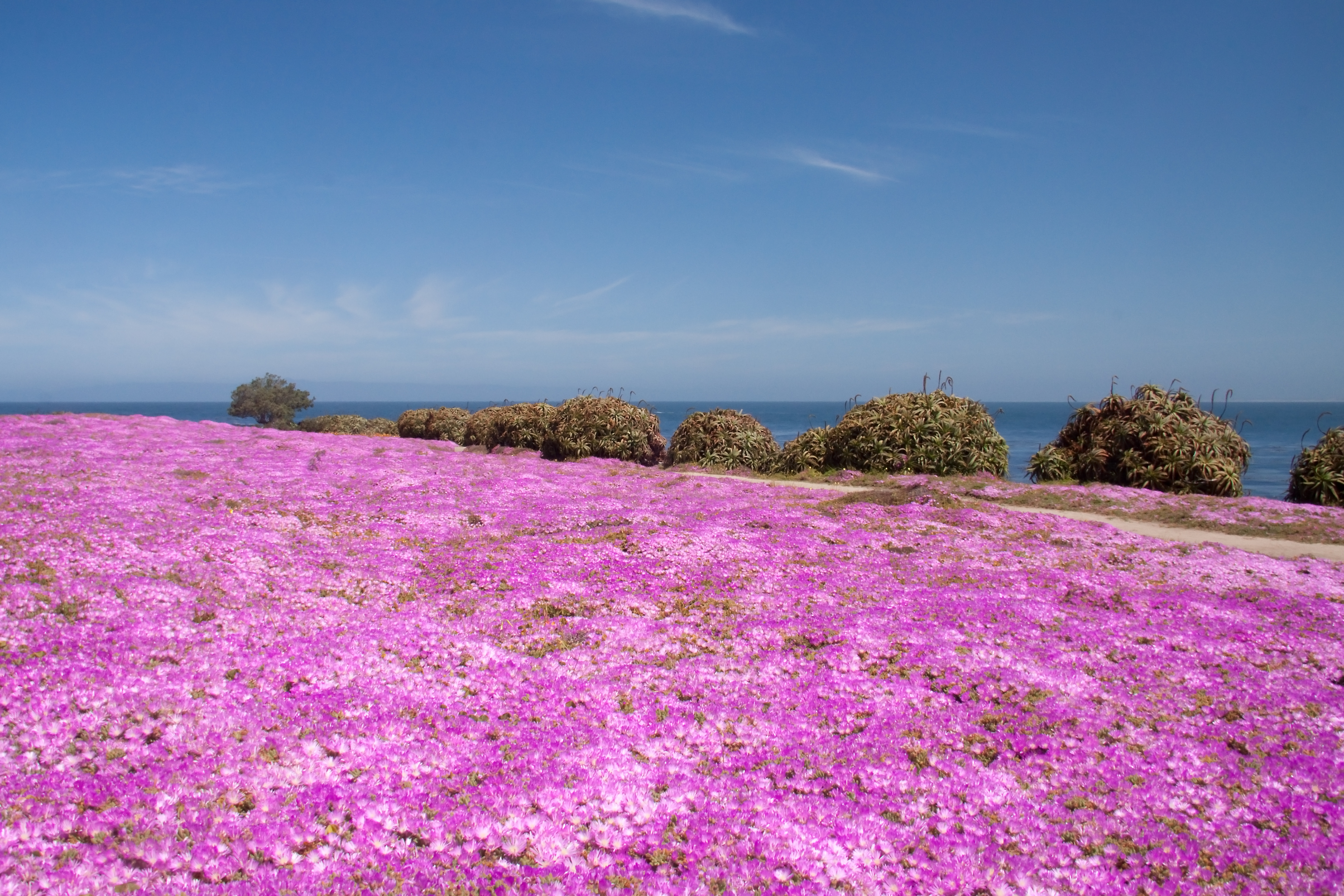 Pink Carpet Trailing Ice Plants At Monterey Naturetime