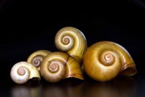 Exotic Apple Snail Shells