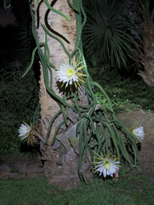 Night-Blooming Cereus Cactus Flower Whole View