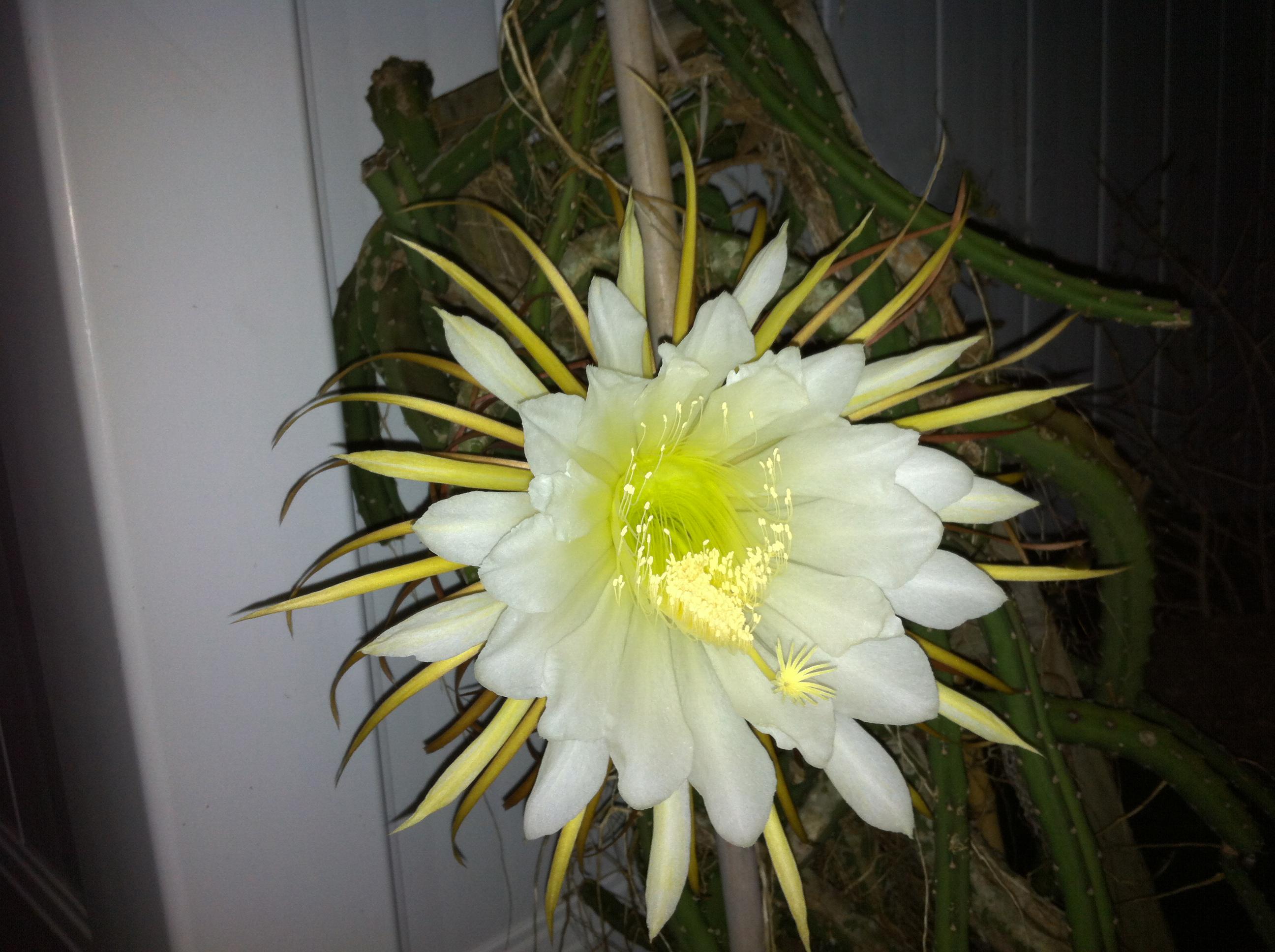 Gigantic Night Blooming Cactus Flower
