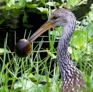 Limpkin Eating an Exotic Apple Snail