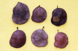 Coin Vine Seeds