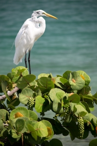 Great Egret on Sea Grapes
