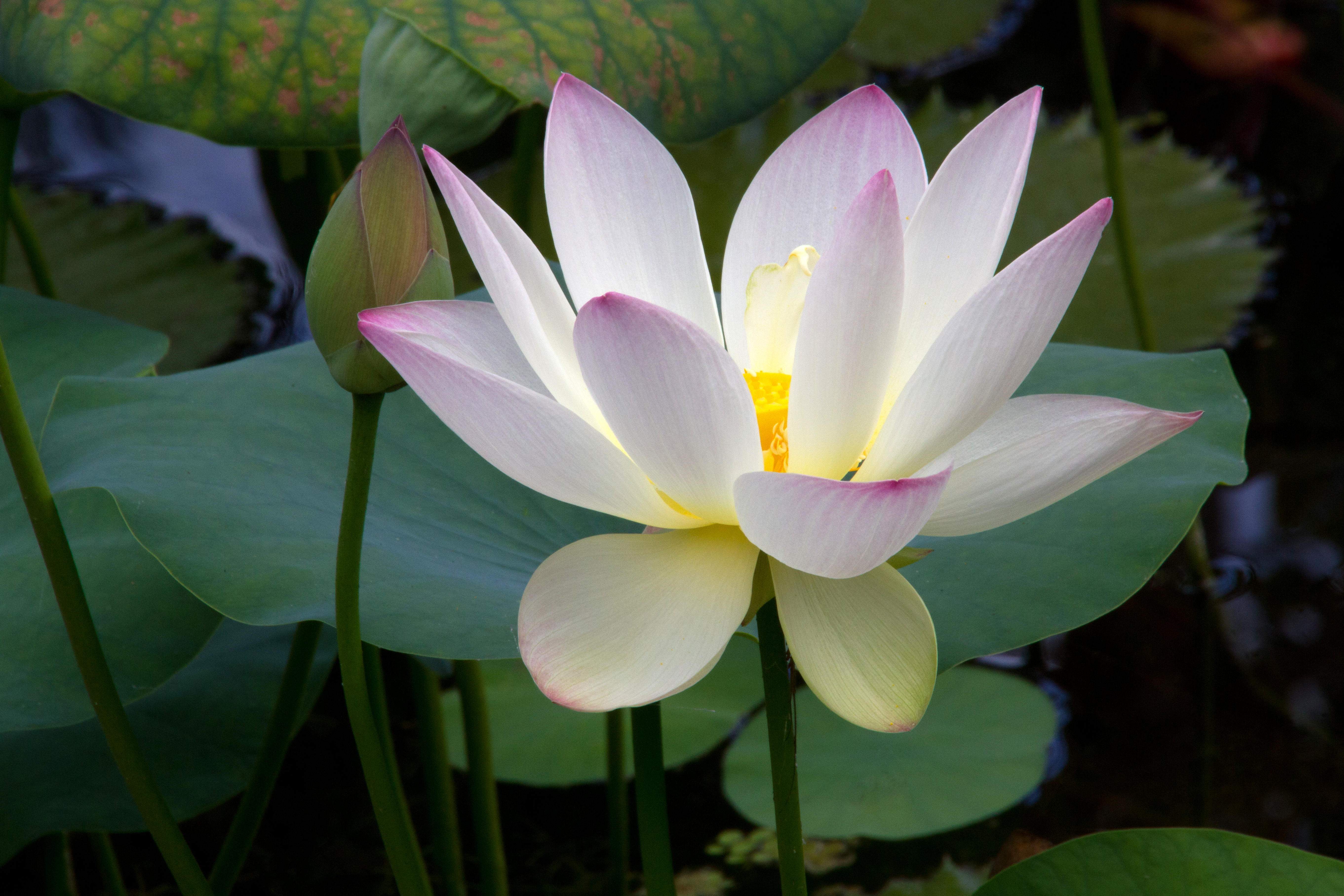 lotus flower and bud  naturetime, Natural flower