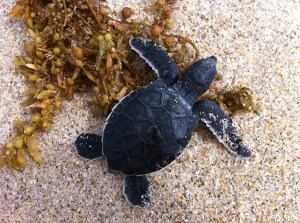 Sea Turtle Hatchling at Sebastian Beach