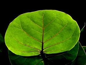 Close-up of Back Lit Sea Grape Leaf