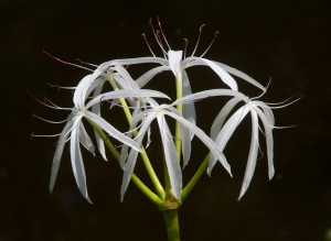Giant White Spider Lily or Hurricane Lily (Crinum species)