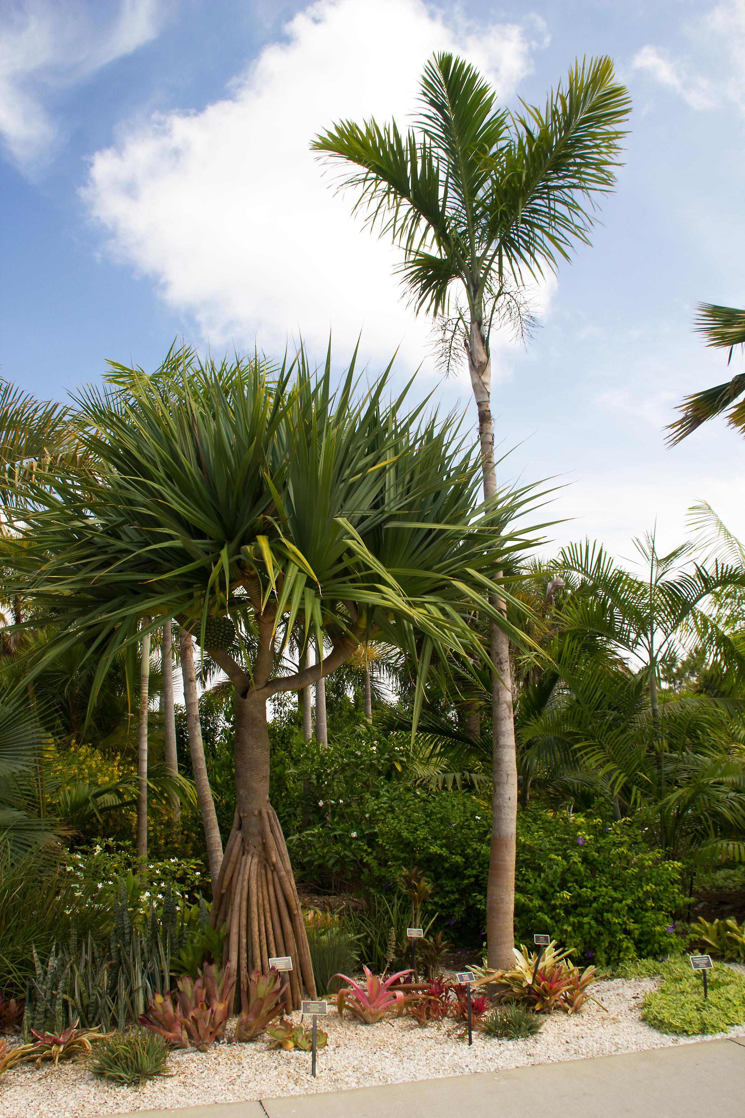 Asian Garden: Screwpine And Palm