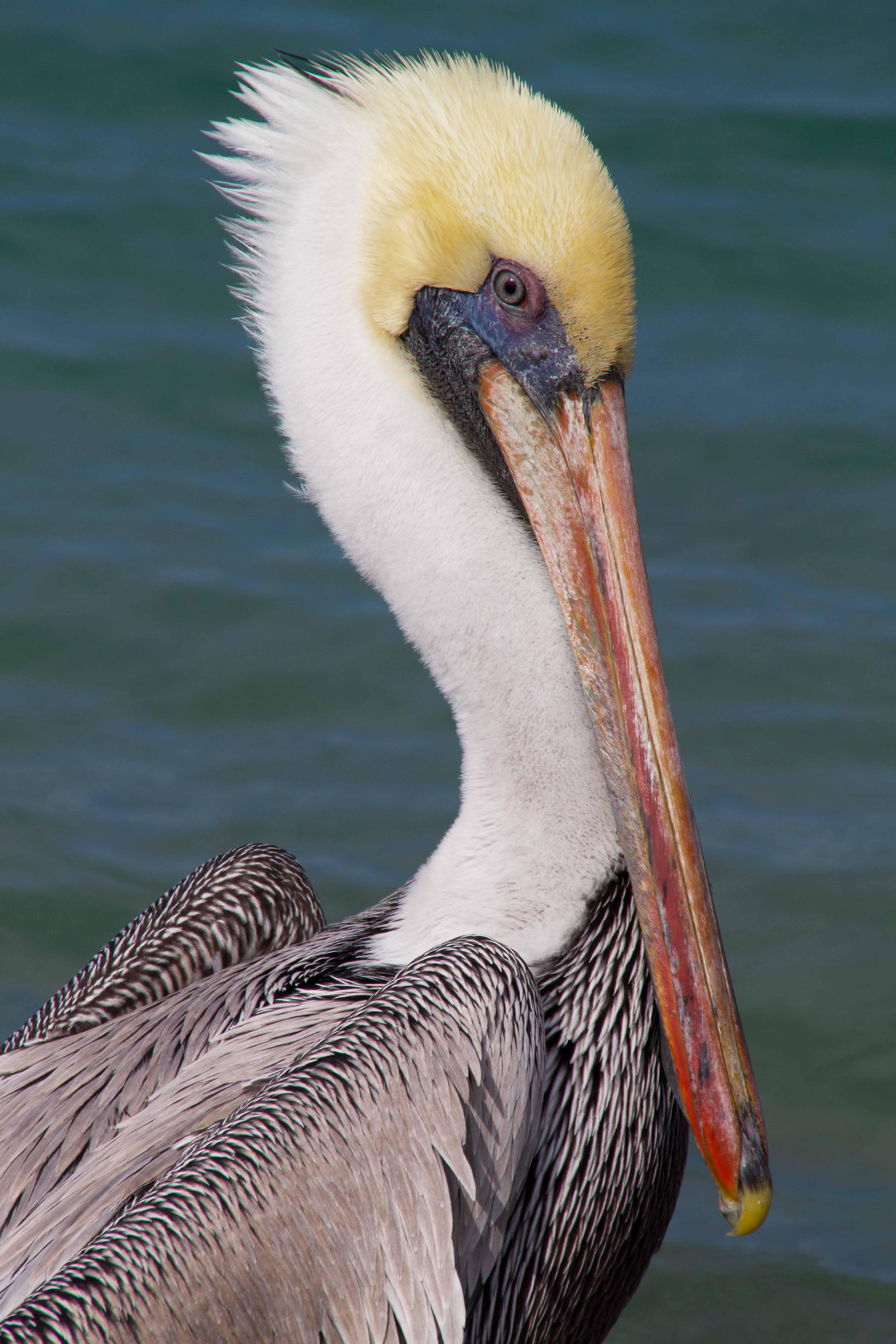 Brown Pelican Naturetime