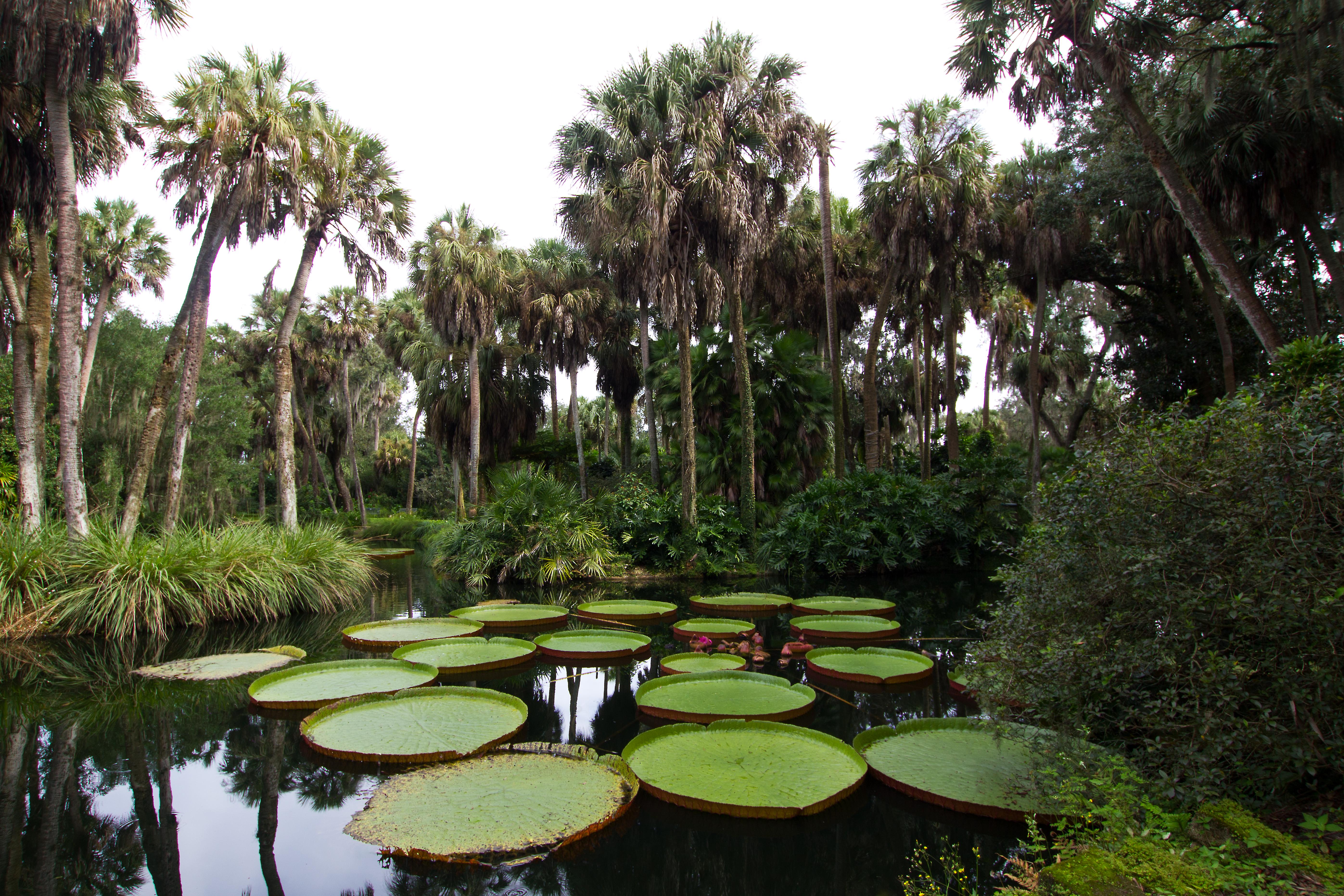 ONE Victoria Waterlily Plant