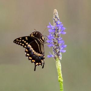 Palamedes Swallowtail on Pickerel Flower