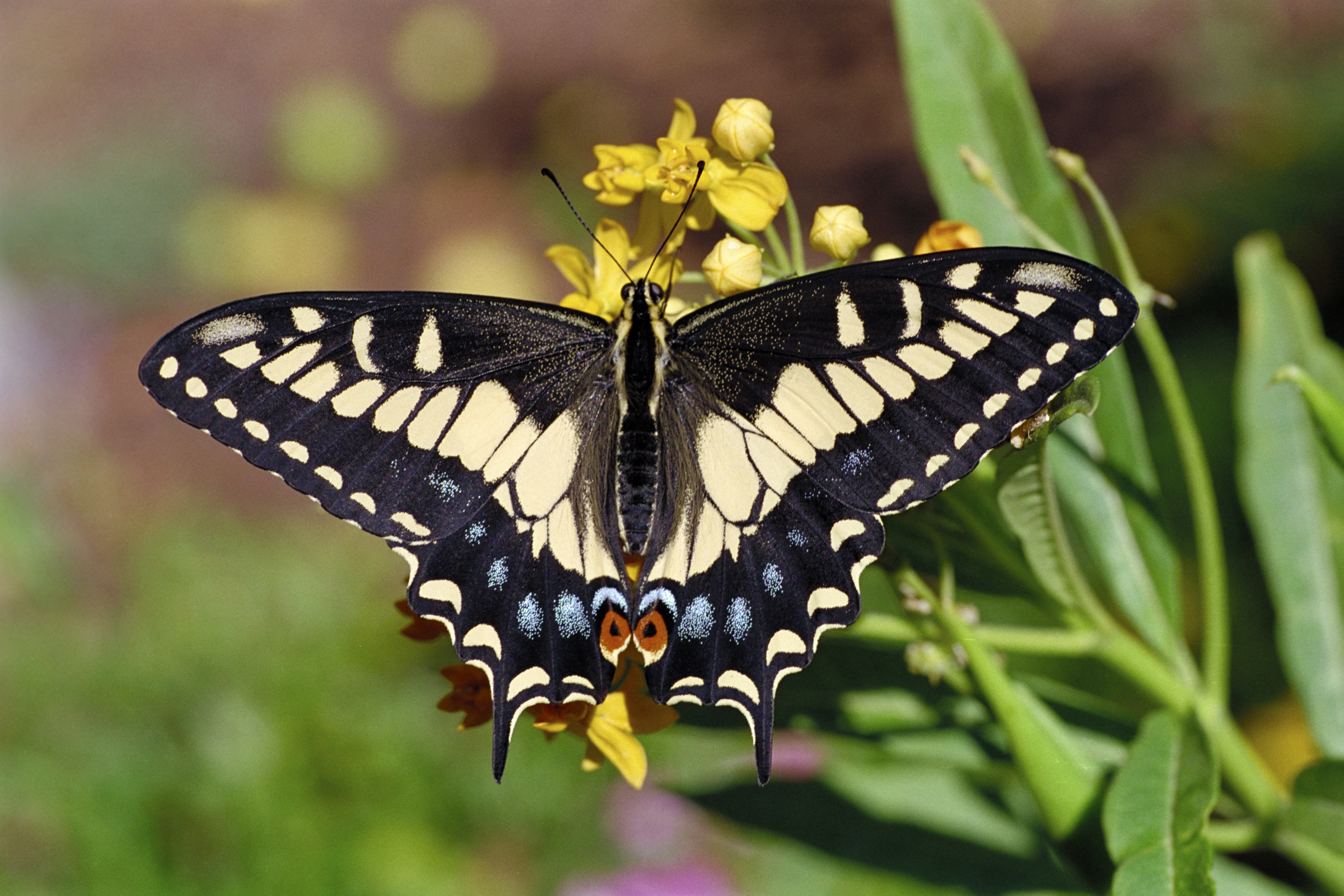 The Legacy Of Central Florida S Black Press: Eastern Black Swallowtail Butterfly (male)