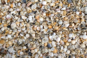 Jupiter Beach Shell Layer