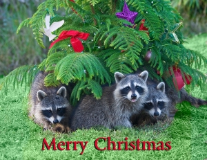 Merry Christmas Raccoons at our Florida Home