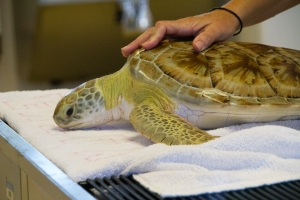 Green Sea Turtle Patient in Hospital (doing well)