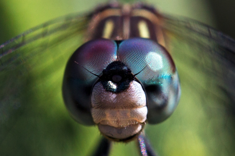 Scientists Tap Dragonfly Vision to Build a Better Bionic