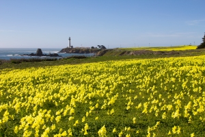 Pigeon Point Lighthouse with Yellow Buttercup Oxalis Flowers in Spring
