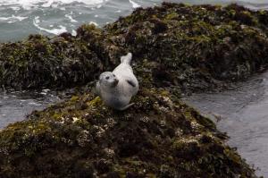 Harbor Seal on Rocks below Pigeon Point