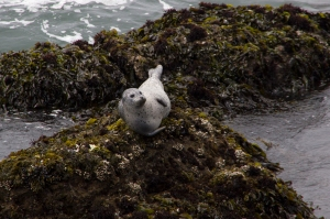 Harbor Seal on Rocks below Pigeon Point