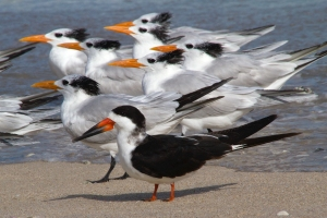 Black Skimmer and Royal Terns
