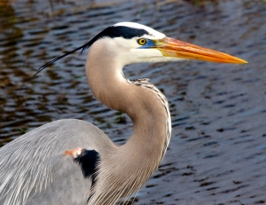 Blue Heron's Breeding Colors