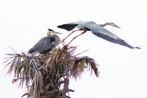 Blue Heron's Takeoff from Nest