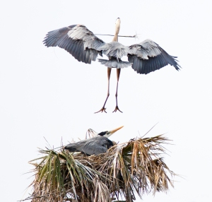 Blue Heron's Touchdown on Nest